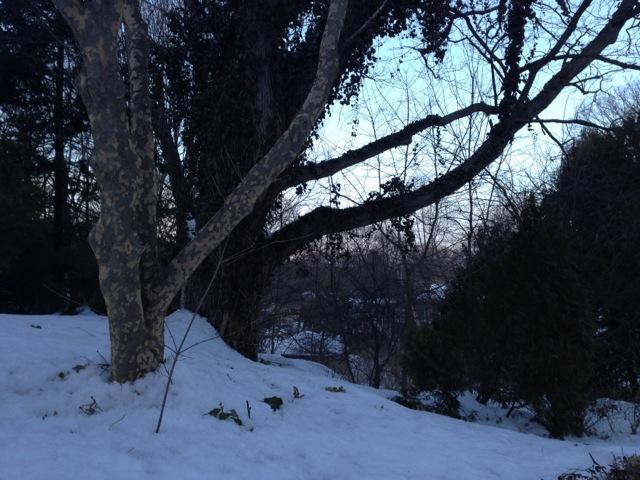Sycamore tree, winter sunset