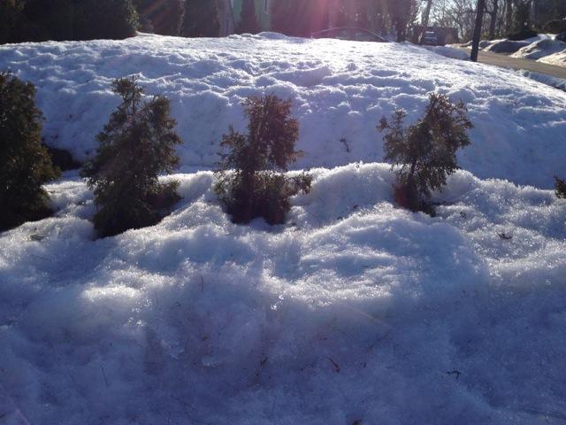 Trees knee deep in snow