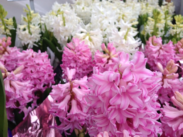 Pink and White Hyacinths