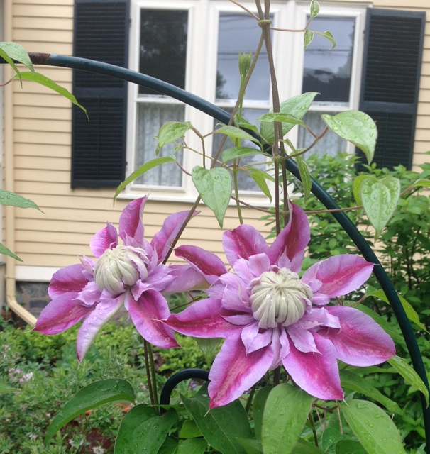 Pair of pink Clematis blooms