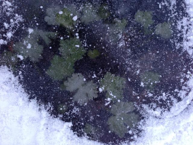 pond life under ice
