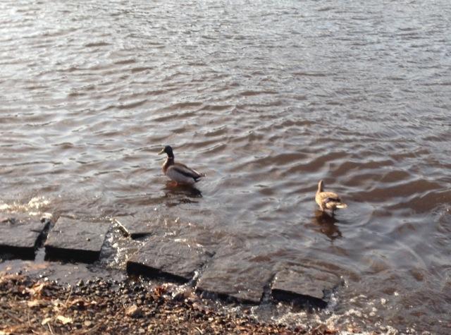 mallard pair of ducks