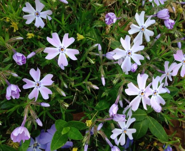 lavender Creeping phlox