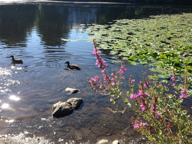 Purple loosestrife and ducks on river