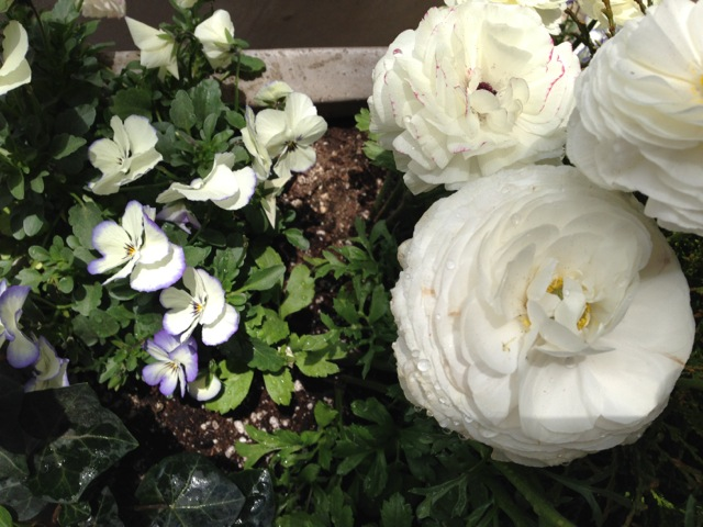 White ranunculus and pansies
