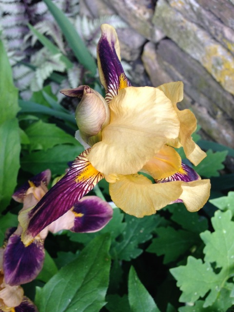 Gold and Purple Iris