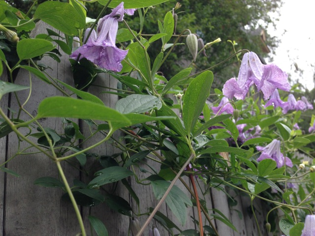 Purple trumpet flowers