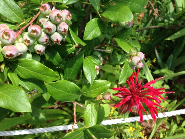 Blueberries and Bee Balm