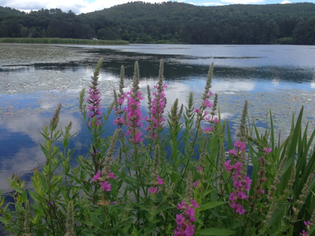 Vermont Pond with loosestrife