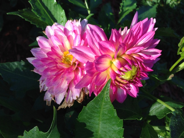 Twin Pink Dahlias