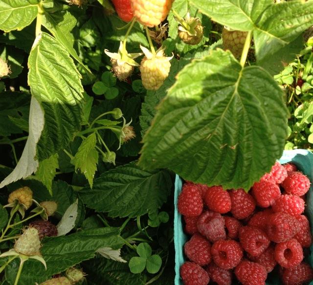 raspberry bush and pint