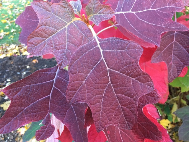 red oak leaf hydrangea leaves