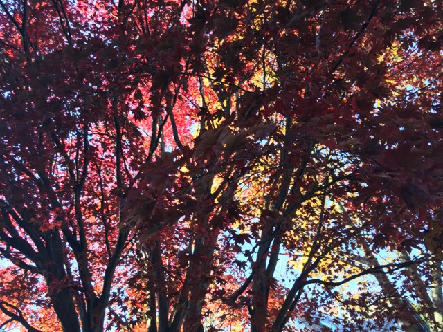 Golden and red leaves in sunshine