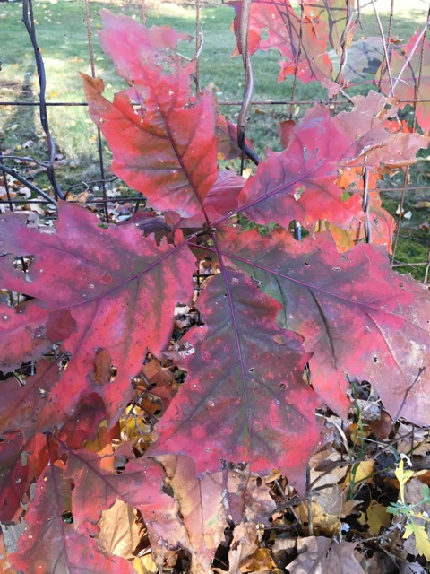 Oak leaves with red at the edges