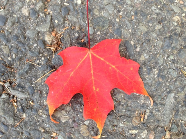 Red Leaf, tips curled, as if remembering
