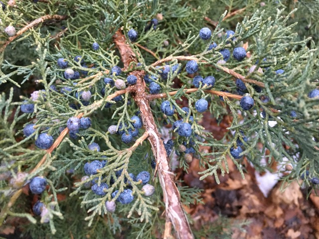 Blue Juniper berries
