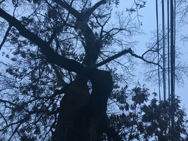 Thick oak in winter, trees brown and curled, with power lines running alongside, and the twisted trunk makes an eye