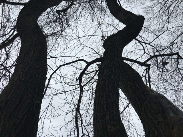 tall bare trees against a gray, winter sky