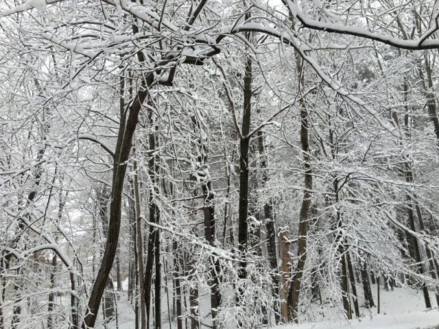 Snow covered trees, including one bent and twisted
