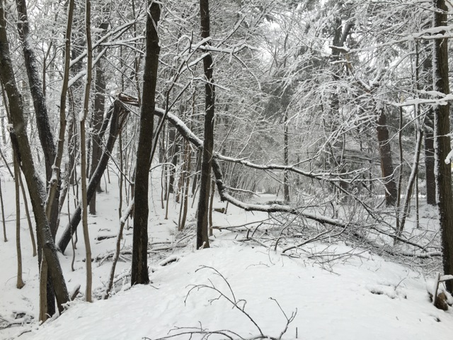 Broken tree bent in half and blocking snowy, forest path