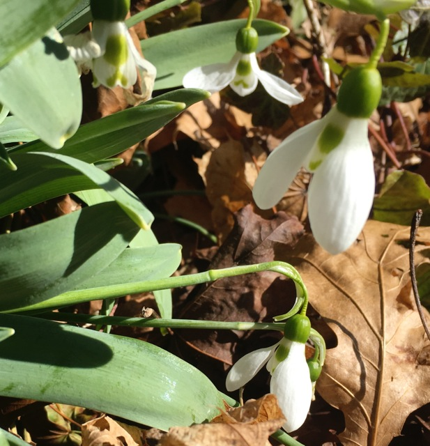 White, bell-like snowdrops
