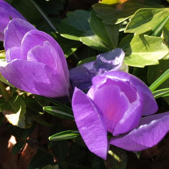 purple crocus shining in sun