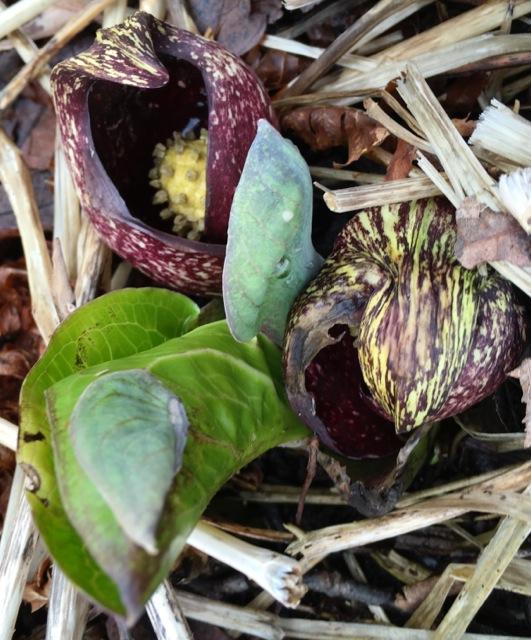 Skunk Cabbage -- Symplocarpus foetidus