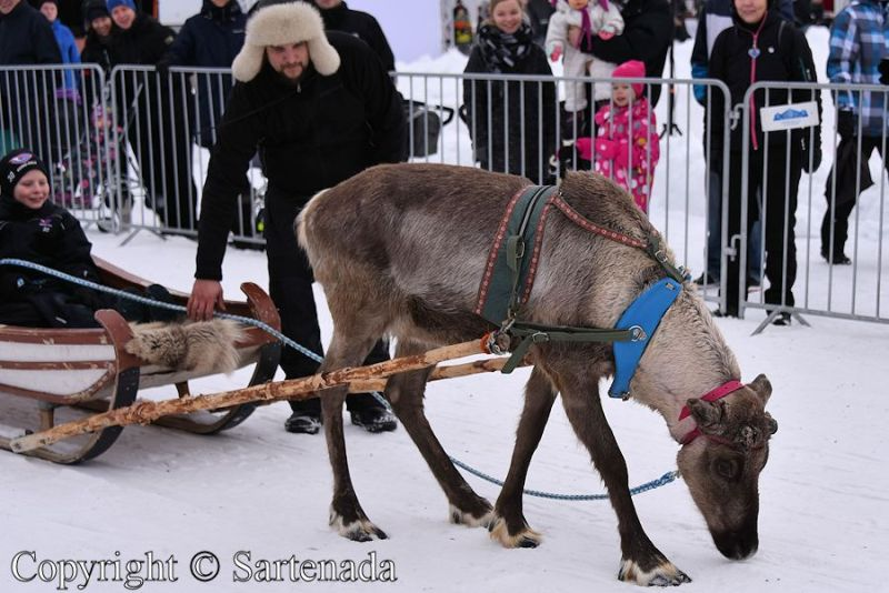 Finland Reindeer rides by Sartenada
