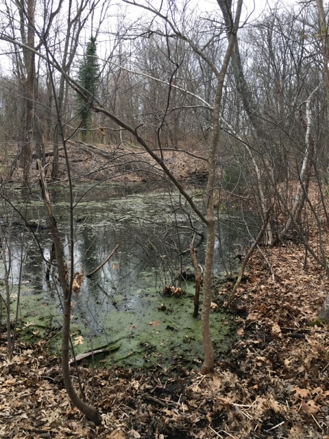 Pond with algae, bare trees and a lonely evergreen