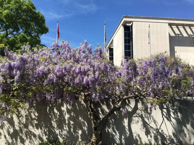 Wisteria in bloom outside the Museum of American History