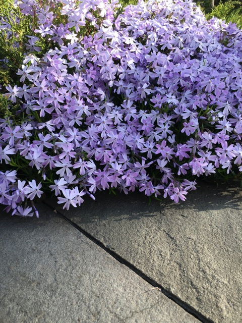 Purple Creeping Phlox on sidewalk