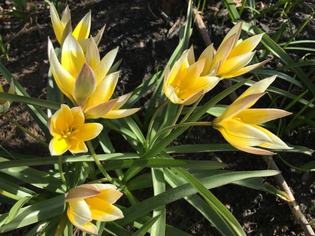 Yellow tulips with pointy petals