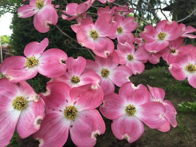 Pink Dogwood blooms, 4 petals each