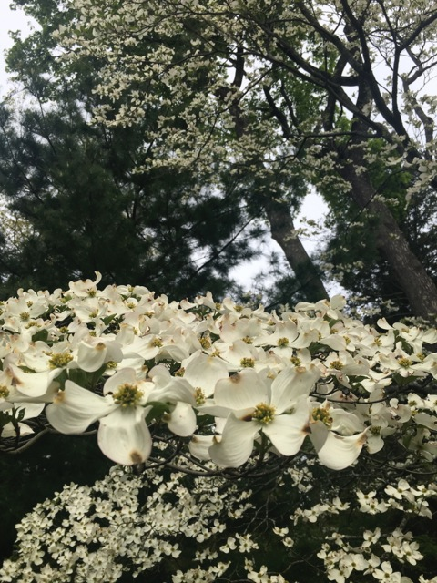 Dogwood blooms, near and far