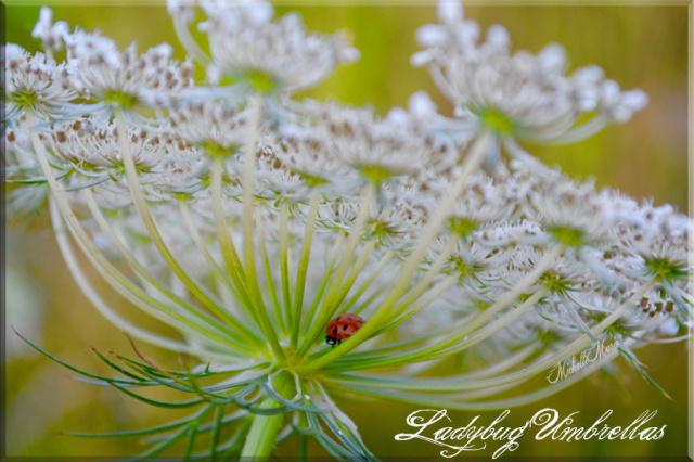 ladybugumbrellas
