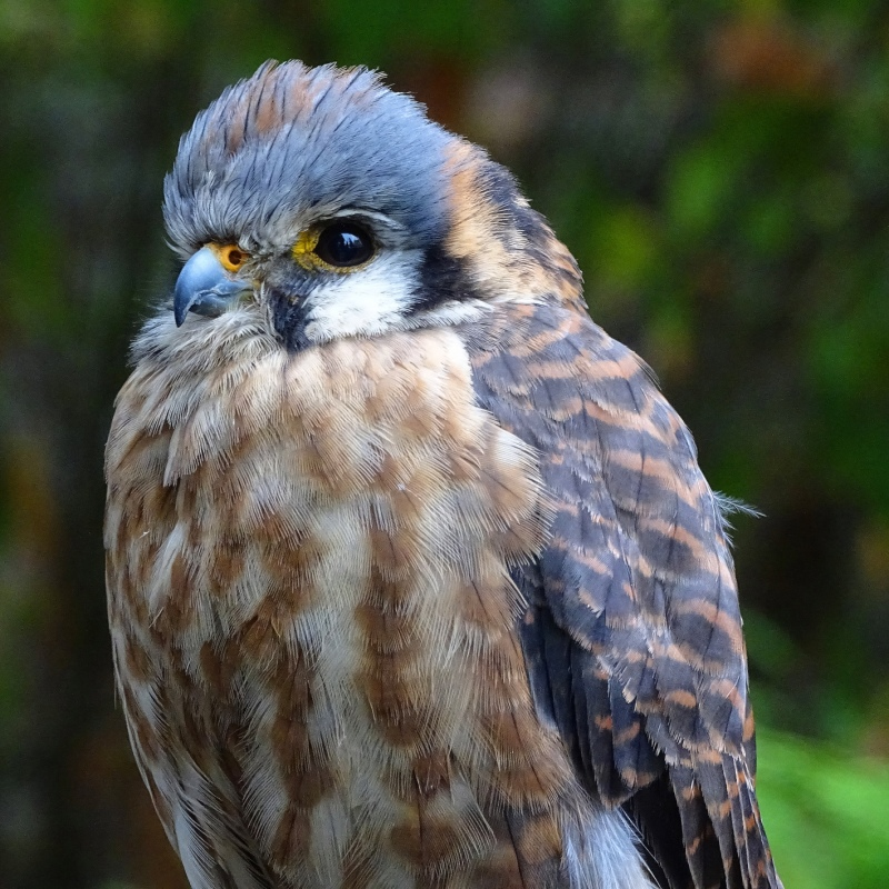 Canadian Kestrel
