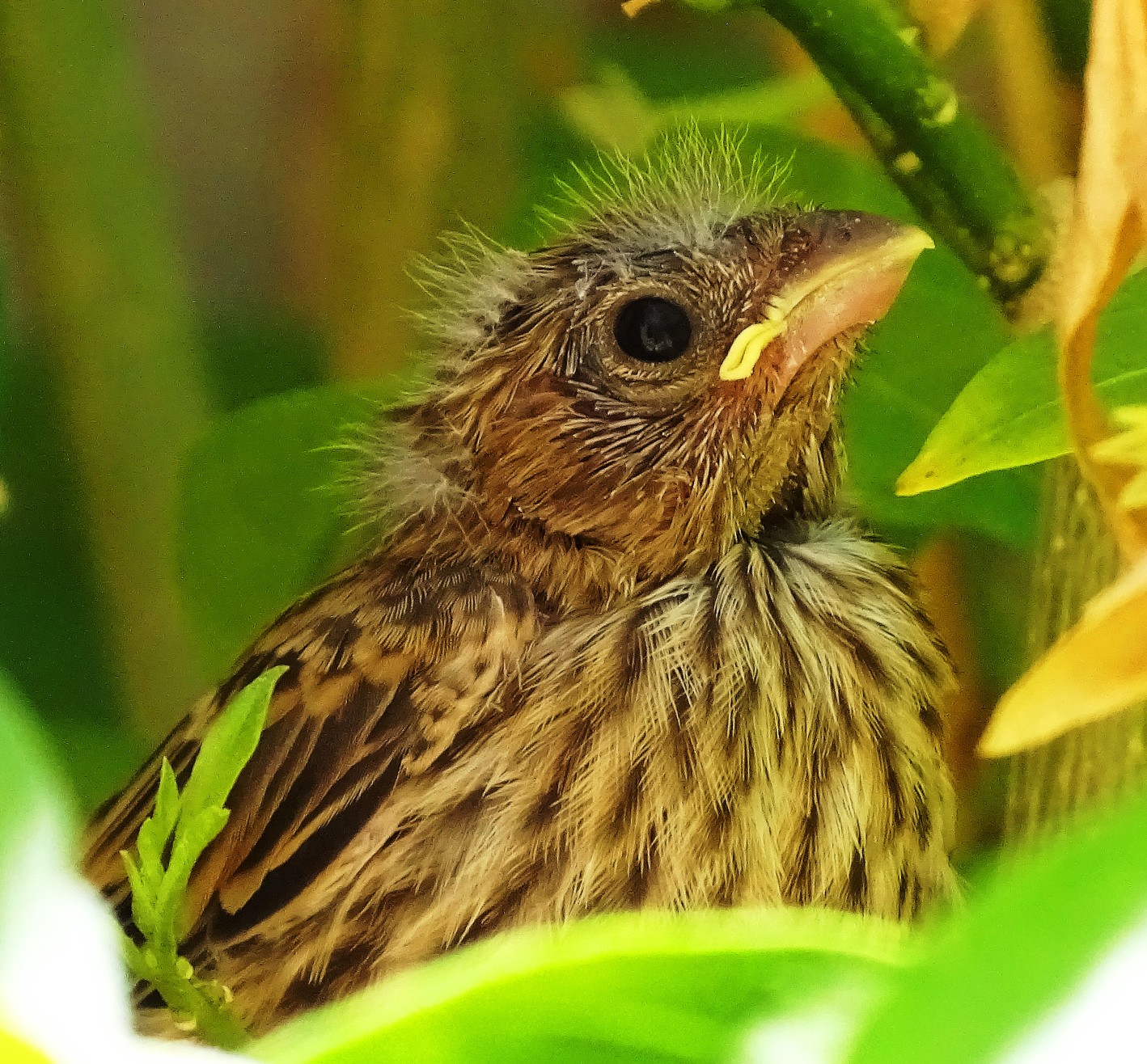 Baby Oriole