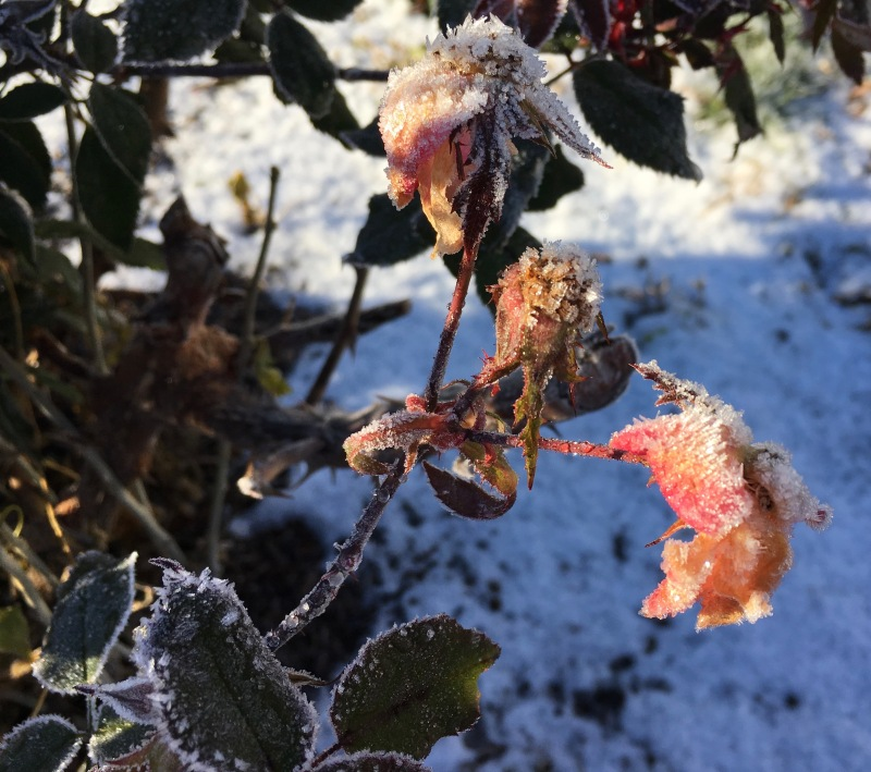 Faded pink roses covered in frost