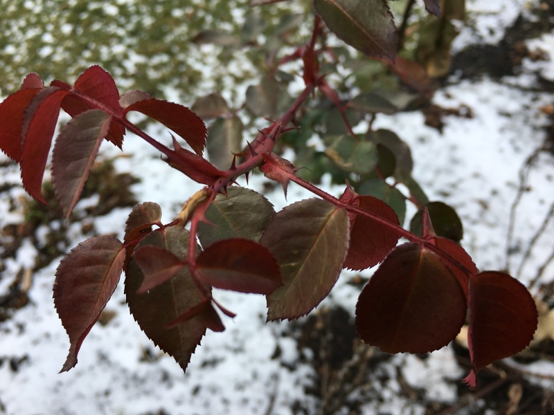 Red Rose leaves against a snowy lawn