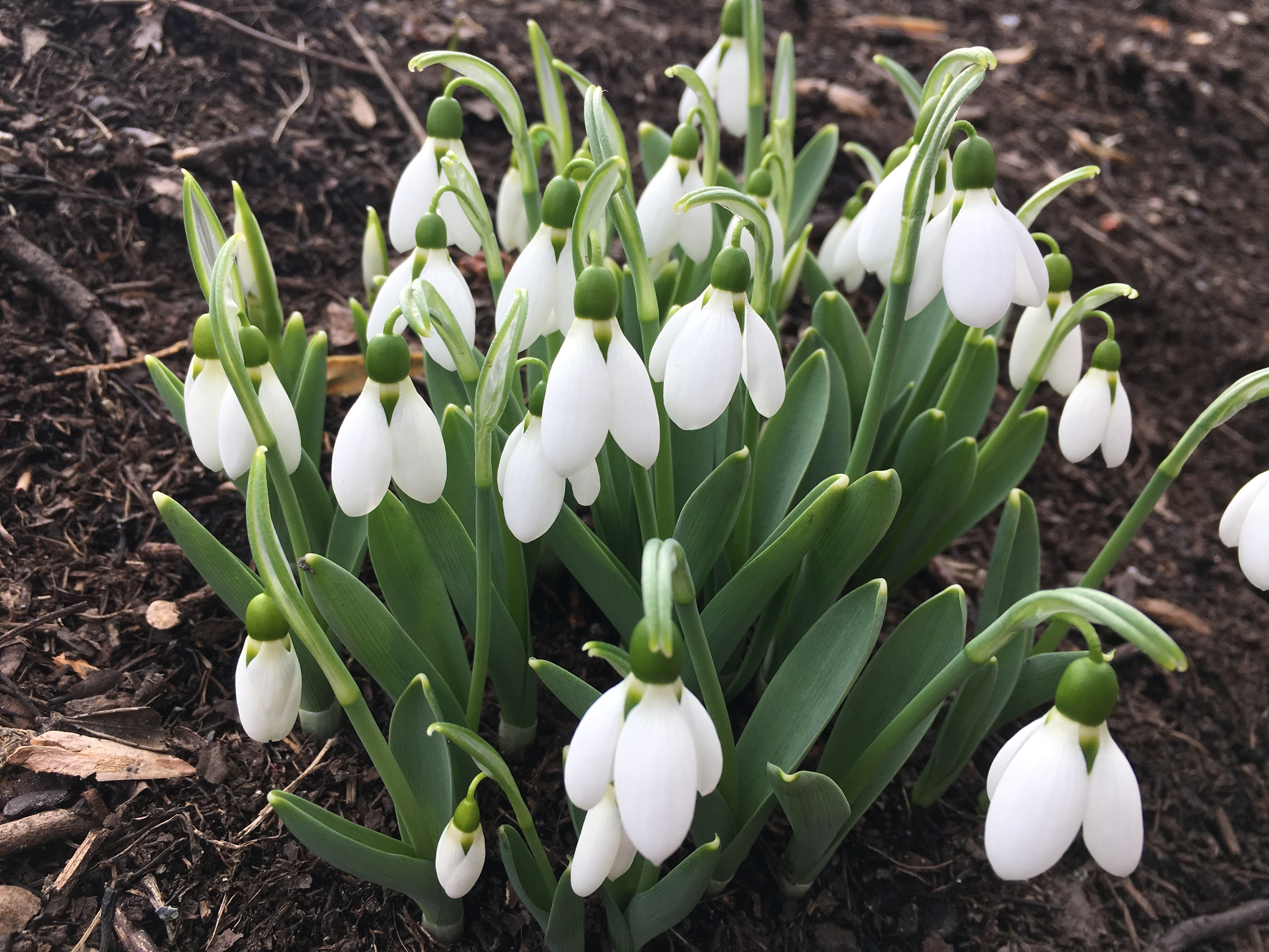 Snowdrops blooming on February 25, 2017