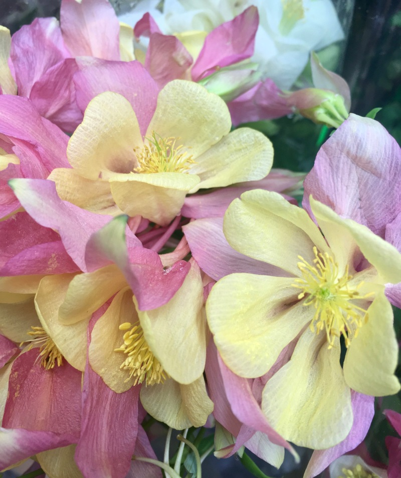 Yellow and pink columbine flowers