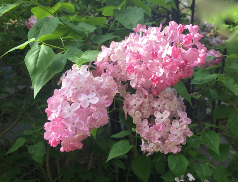 Pink Lilacs in bloom