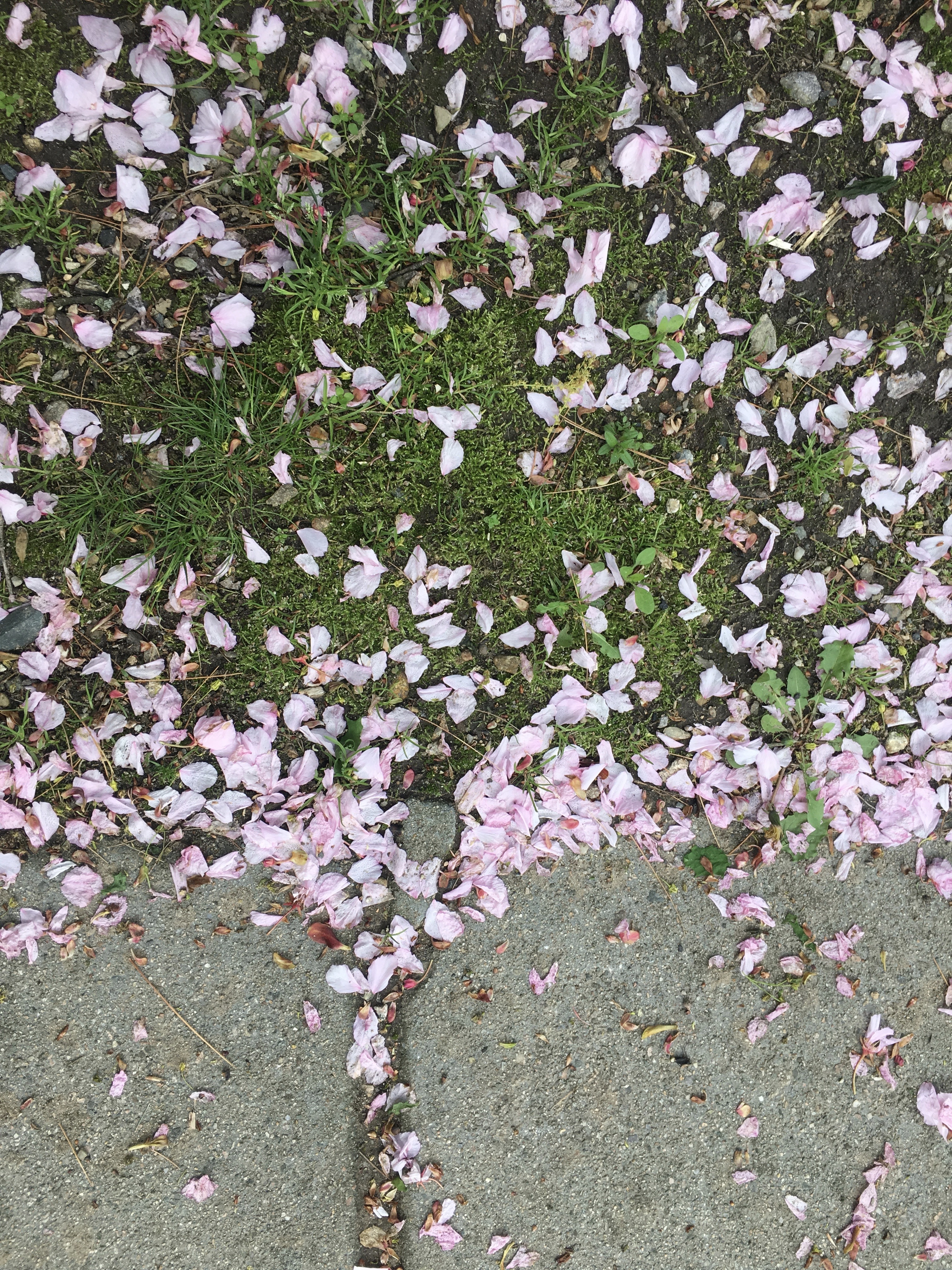 Fallen Cherry Blossom Petals on the grassy verge and sidewalk