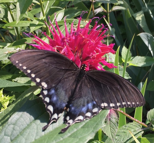Eastern Black Swallowtail Butterfly on Red Bee Balm
