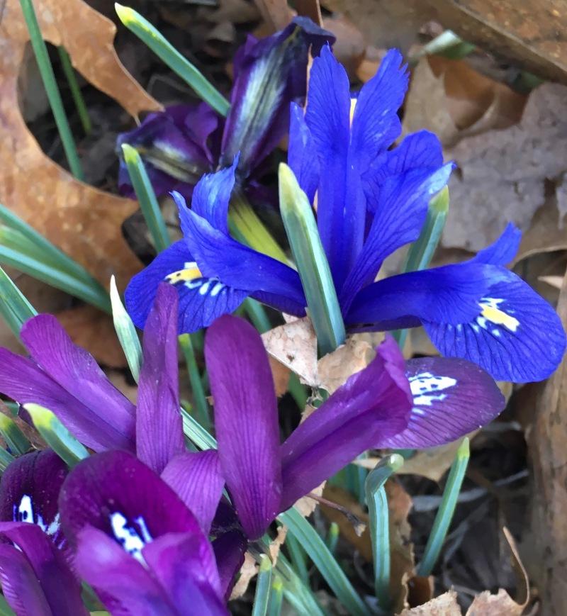 Tiny Japanese irises