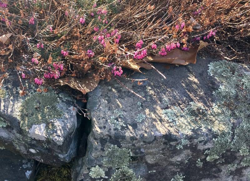 Heather on a Stone Wall