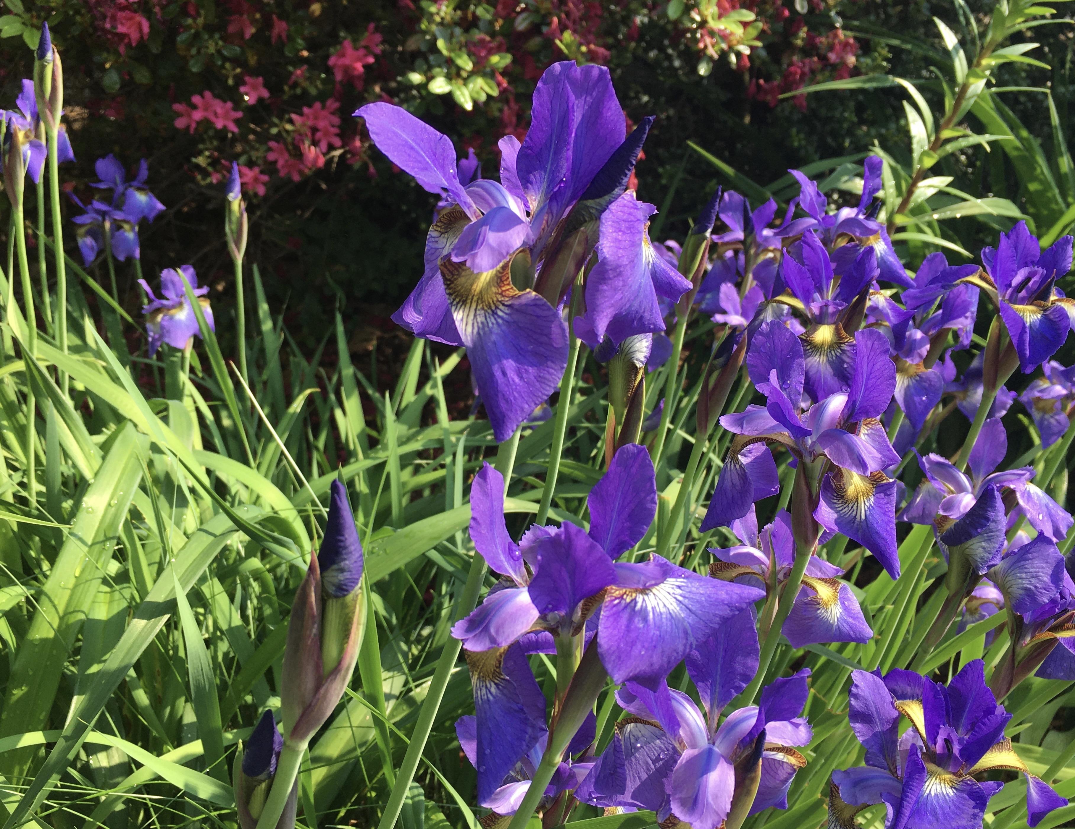 Blue Irises in front of red azalea